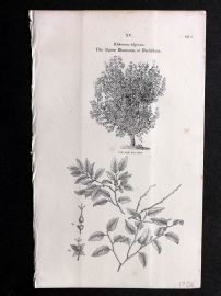 John Loudon 1838 Antique Botanical Tree Print. Alpine Rhamnus or Buckthorn